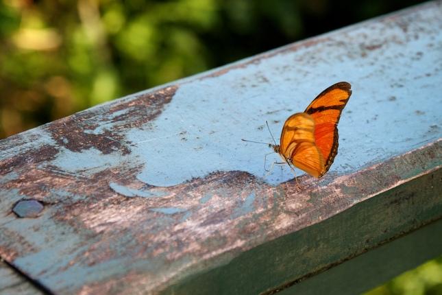 Butterfly_at_iguassu_by_n
