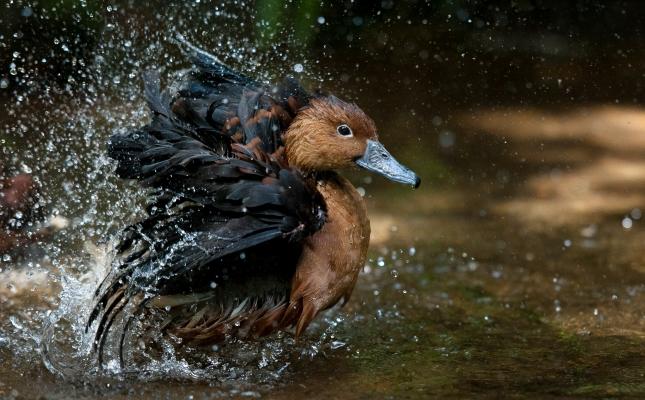duck-1